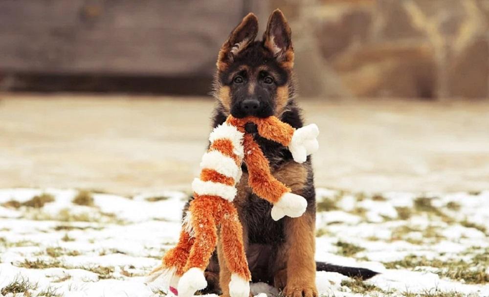 щенок кусает игрушку